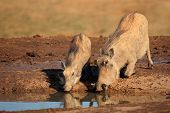 A pair of warthogs (Phacochoerus africanus) drinking water, South Africa
