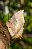 stock photo of raja  - Tawny raja butterfly is sucking for food - JPG