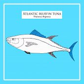 Hand-drawn Atlantic blue-fin tuna
