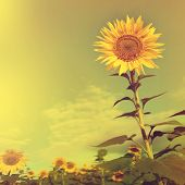 Sunflower in the field in vintage style.