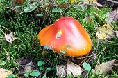 Mushroom-toadstool On A Forest Glade