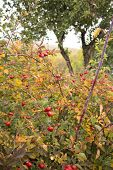 bush with red berries of hawthorn autumn leaves