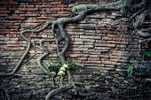Ancient Brick Wall With Growing Banyan Tree Roots
