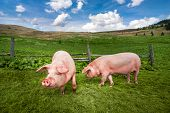 Cute Pigs Grazing At Summer Meadow At Mountains Pasturage Under Blue Sky. Organic Agriculture Natura