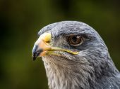 picture of buzzard  - a black chested eagle buzzard portrait from the side