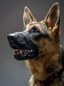 Studio shot of German Shepherd on gray background