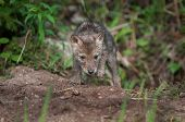 Coyote Pup (canis Latrans) Climbs Out Of Den