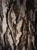 stock photo of pinus  - Pine tree bark texture close up Pinus sylvestris  - JPG