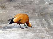 Orange Duck On Melting Ice