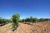 Vineyard in Aragon, Spain
