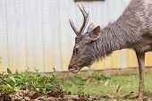 Deer Eating On The Grass.