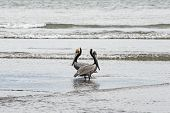 Two Pelicans In A Contemplating Pose