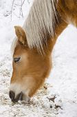 foto of horses eating  - Beautiful horse eats on the snow close up - JPG