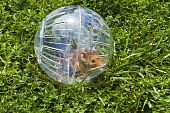 Rodent in a Hamster ball