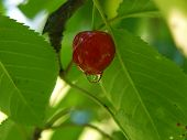 Ripened Cherry With Water Droplets