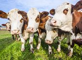 foto of dairy cattle  - cattles at a green meadow waiting for feeding - JPG