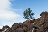 Tree On Lava Rock