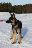 German Shepherd Puppy Walking