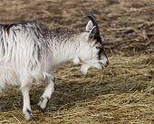 Baby Goat Walking