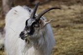 White Goat Shewing