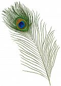 stock photo of single  - Single green Peacock Feather isolated on white - JPG