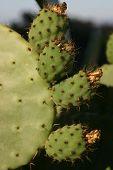 Cactus Plant on hillside, Torrey Pines, CA