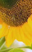 Honey Bee Pollinating Farm Sunflower Plant