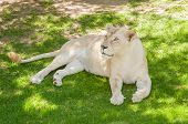 foto of african lion  - The white lion is a rare color mutation of the African Lion Panthera leo krugeri originally from the Timbavati area of South Africa - JPG