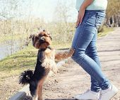 stock photo of yorkshire terrier  - Obedient yorkshire terrier dog with owner in the park - JPG