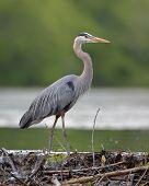 stock photo of bend  - Great Blue Heron  - JPG
