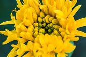 pic of marigold  - Marigold  flowers field - JPG