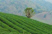 foto of debonair  - The tea farm at Mae Salong Chaingmai Thailand - JPG