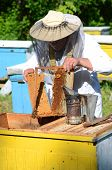 pic of larvae  - Experienced senior apiarist cutting out piece of larva honeycomb in apiary in the springtime - JPG