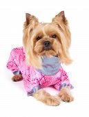 foto of yorkshire terrier  - Yorkshire Terrier with stylish haircut wearing pink coveralls sits on white background - JPG