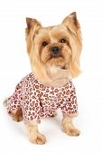 image of yorkshire terrier  - Photograph of the Yorkshire Terrier in patchy coveralls sits on white - JPG