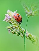 picture of ladybug  - Ladybug sunlight on the on grass - JPG
