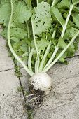 stock photo of turnips  - Muddy home grown turnip - JPG