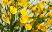 picture of buttercup  - yellow buttercups flowers  - JPG