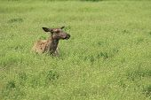 image of steppes  - female deer lies with closed eyes in the steppe in Aksania - JPG