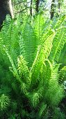 stock photo of fern  - Green young fern foliage forest evening scene - JPG