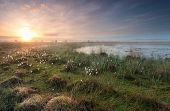 stock photo of swamps  - gold sunrise over swamp with cottongrass Netherlands - JPG