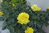 picture of rose bud  - Buds of and opened flowers of yellow roses - JPG