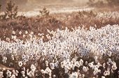 picture of marsh grass  - cotton - JPG