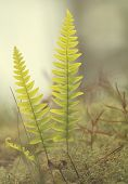 pic of fern  - Close-up of a sunlit Fern in the forest. ** Note: Visible grain at 100%, best at smaller sizes - JPG