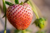image of strawberry plant  - Close up shot strawberry with planting strawberry background - JPG