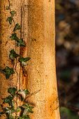image of ivy  - Closeup of green ivy growing on an old tree trunk - JPG