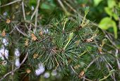 pic of pine-needle  - pine needle on tree at forest green - JPG