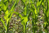 pic of maize  - Young maize plants in a dry field in summer - JPG