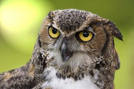 stock photo of owl eyes  - Close up of a Great Horned Owl also known as the Tiger Owl - JPG