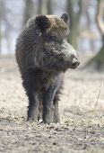 cerdo salvaje